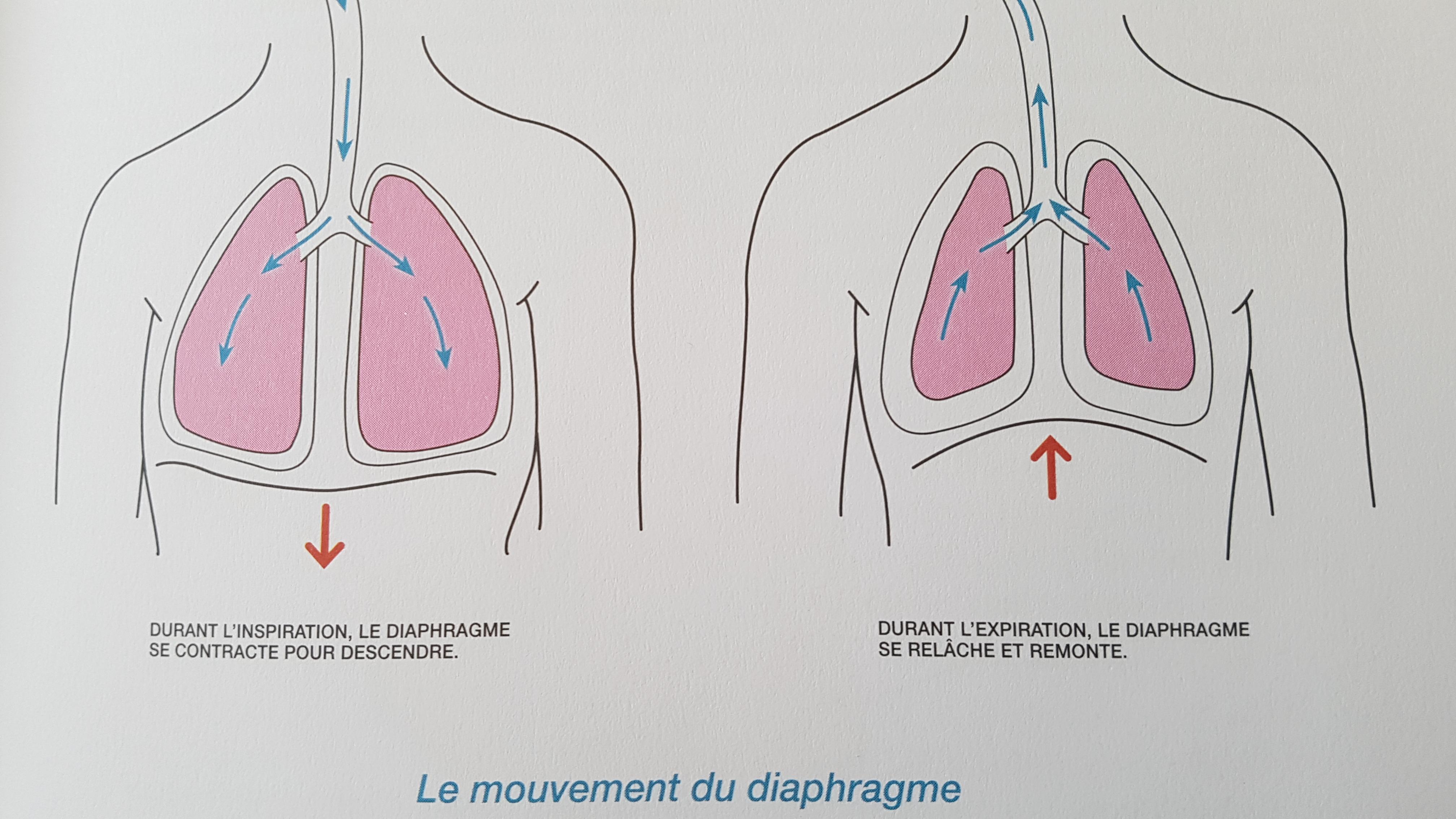 image poumons et le fonctionnement du diaphragme