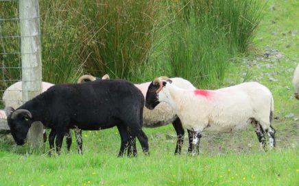 Photo mouton noir
